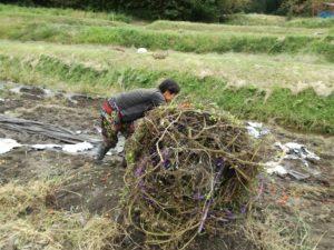 トマトの木を転がしながらまとめて丸めて片付ける