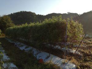 トマトの圃場