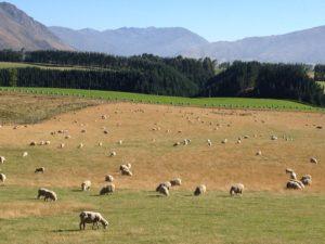 ニュージーランドの滞在先農家の羊