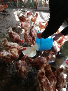ヨーグルトを食べる鶏