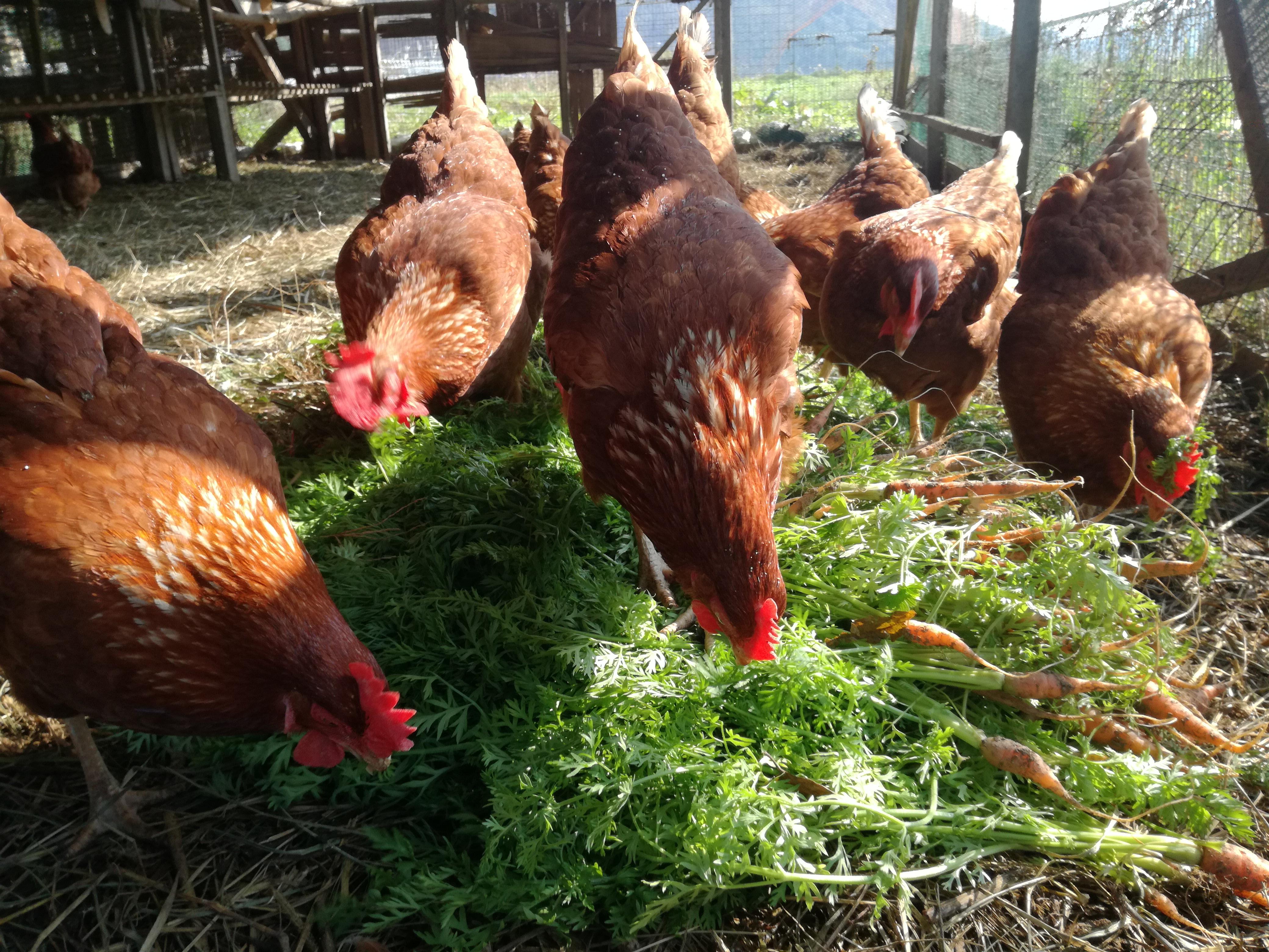 オーガニック野菜を食べる鶏