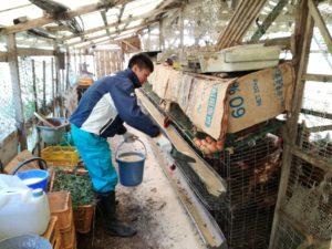 NON GMOの飼料を食べる鶏