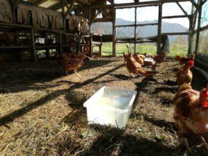 鶏舎を自由に走る鶏