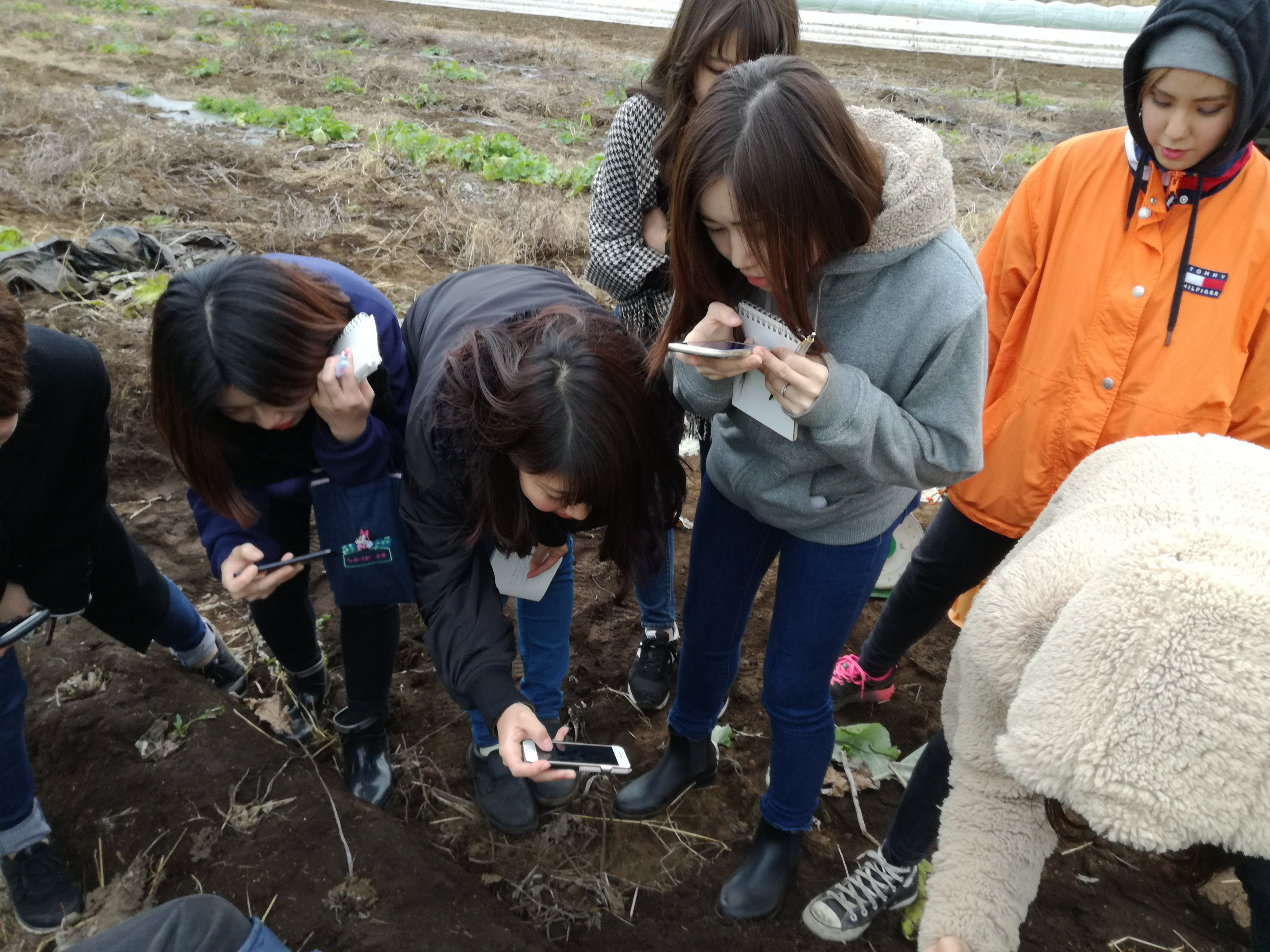 大浦ゴボウの収穫