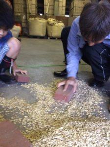 スペルト小麦の種取作業