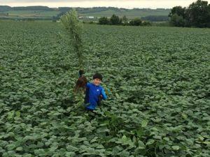 大豆畑で雑草抜き
