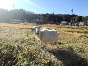 ヤギによる除草