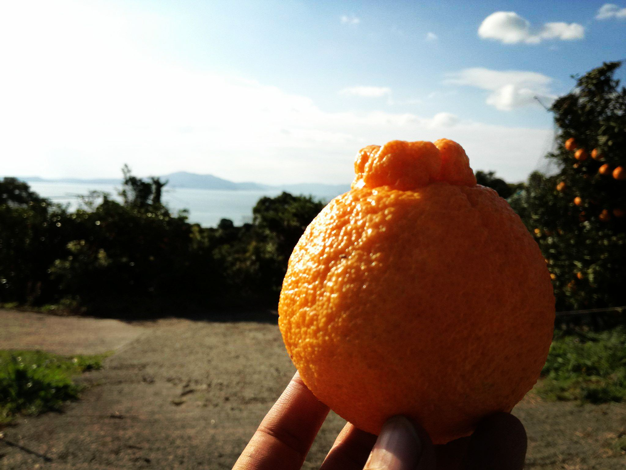 デコポンと海@鶴田有機農園