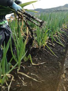 簡単に手で抜ける!ネギの収穫作業@鹿児島有機生産組合直営農場