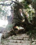 樹齢3000年の生樹の御門