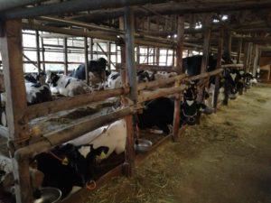 高知県佐川町TAMファームの田村雄一さんの乳牛