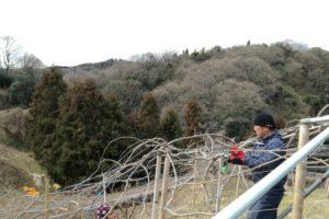 剪定と苗の定植作業@愛媛県/松山市/北条/無茶茶園