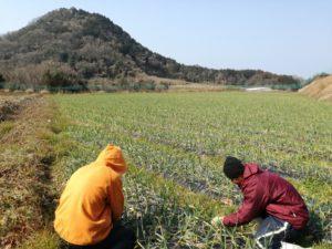 ニンニクの畑の雑草抜き