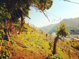 キウイの剪定枝の回収作業@福岡自然農園