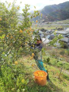 レモンの収穫@ 福岡自然農園
