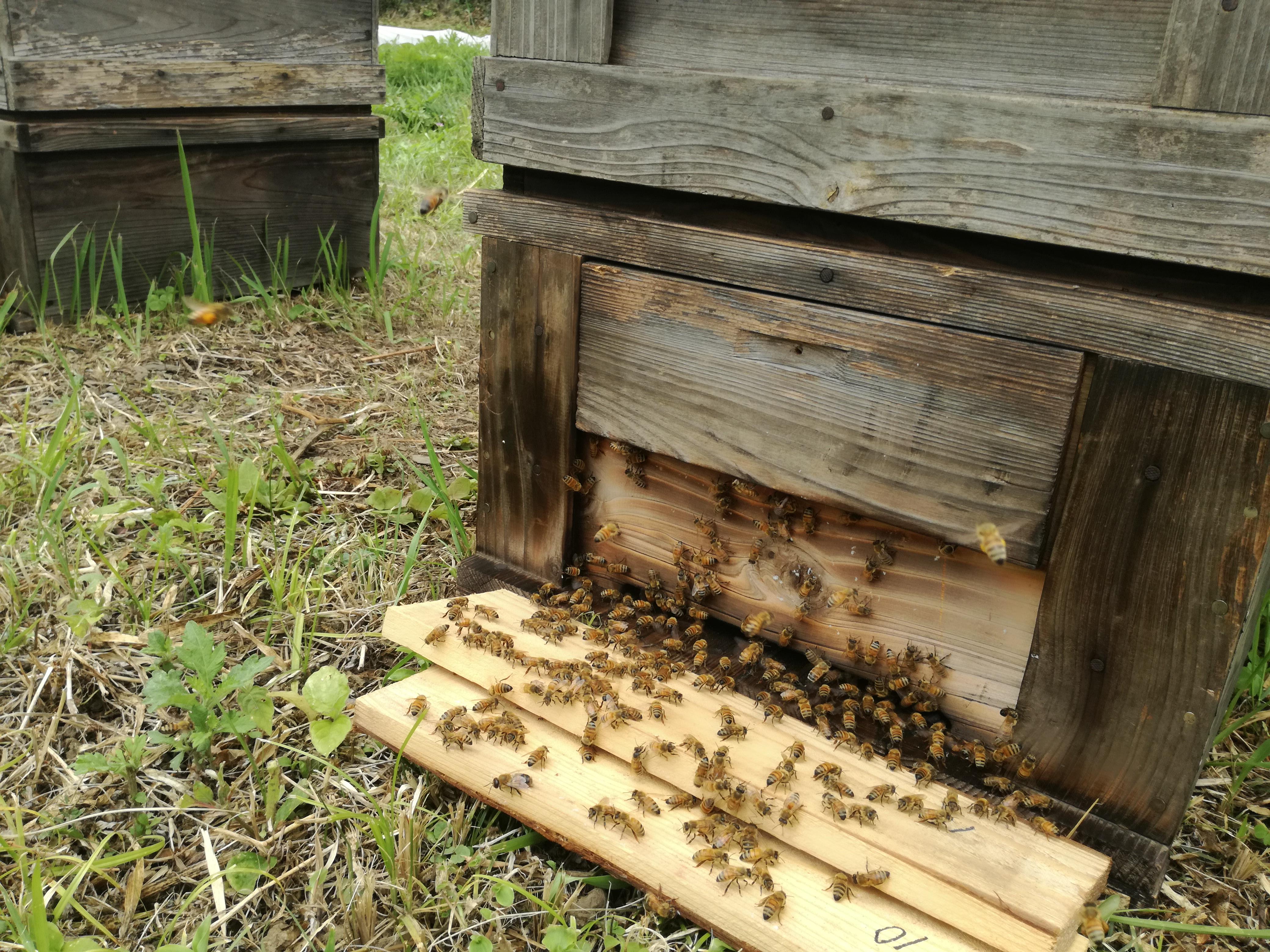 養蜂@ぶくぶく農園@小川町