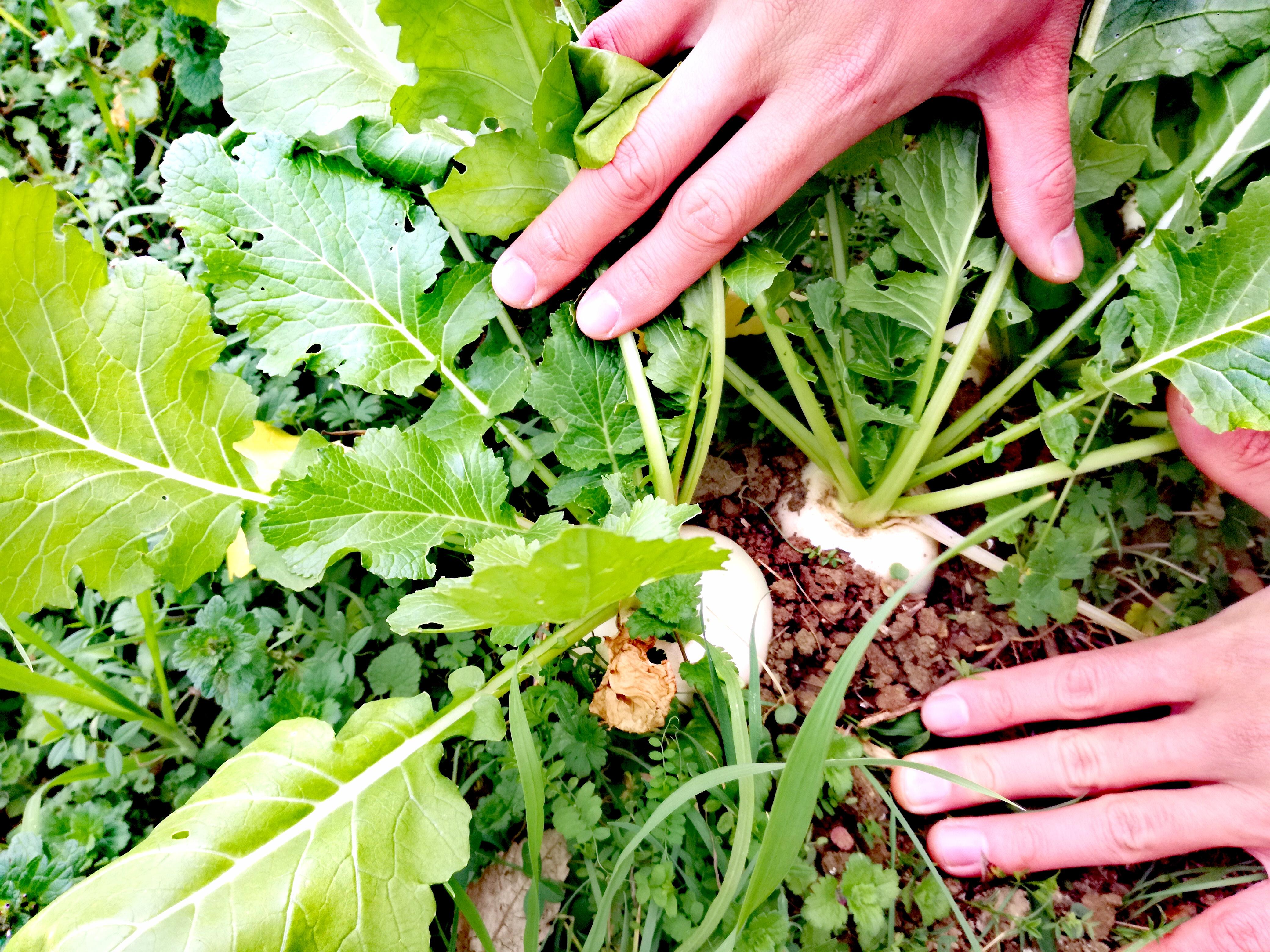 元耕作放棄地の畑でもタネをまいたらできた野菜、カブ