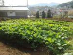 大きくなって来た秋まき野菜