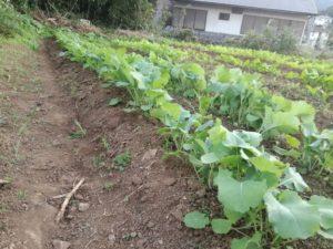 のらぼう菜の草取り後