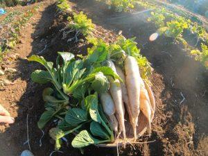 初!大根の収穫