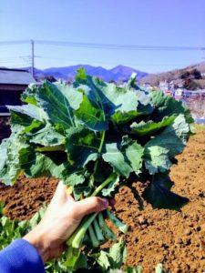 のらぼう菜 初収穫
