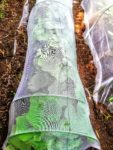 カボチャの苗を防虫ネットで守る