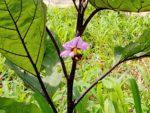 ナスの花とハチ