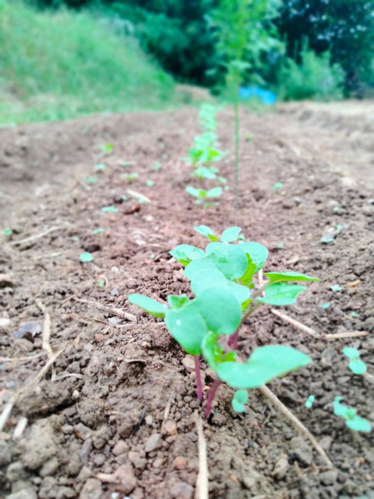 のらぼう菜の発芽