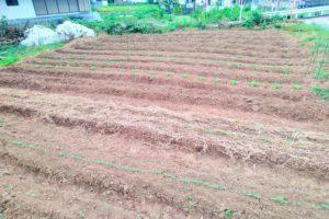 秋・冬野菜の種まき